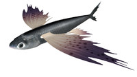 obj exocoetus flying fishes