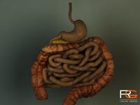 max human intestines