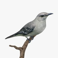 3d northern mockingbird birds ab