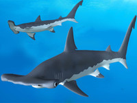 hammerhead shark 3d obj