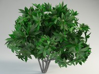 Finger Aralia 3D models
