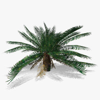 3d model cycas revoluta tree