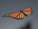 Orange Sulphur Butterfly 3D models