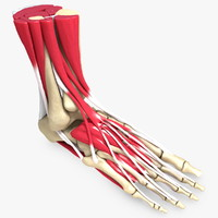 Ultimate Human Foot Bones and Muscles