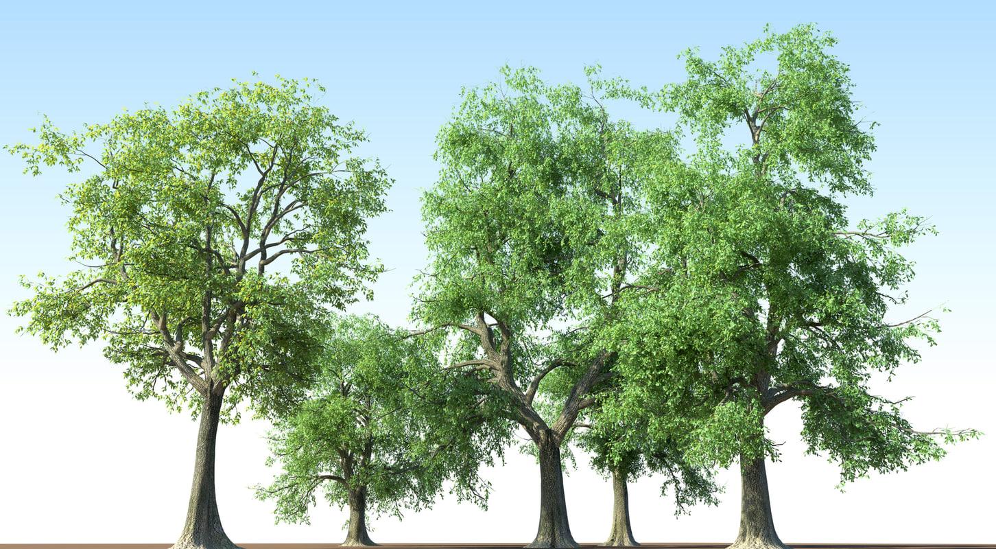 Fraxinus_ash_tree.3.jpg