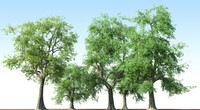 Fraxinus Ash Trees Collection