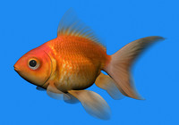 3d fish goldfish model