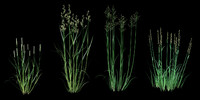 gramineae grass cereals