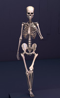 3d model rigged human skeleton