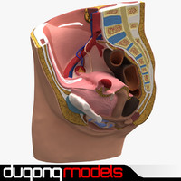 3d dugm01 female pelvis section model