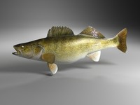 3d model of walleye