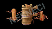 3d model of spinal membranes roots vertebra