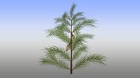3d pines pinus