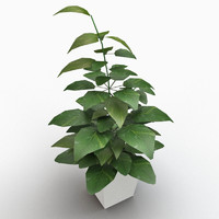 golden pole pothos