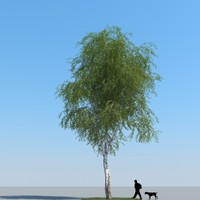 realistic birch tree 3d model