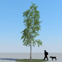realistic birch tree max