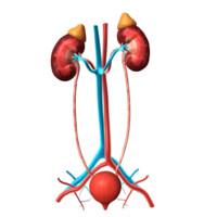 3d kidney organs