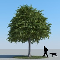 3d model of realistic maple tree