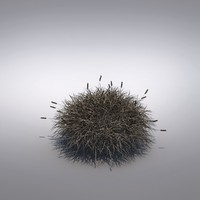 maya ornamental grass festuca