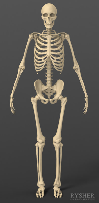 man skeleton anatomy images - learn human anatomy image, Skeleton