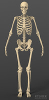 human male skeleton exact 3d obj