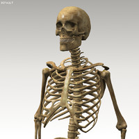 3d model skeleton anatomy