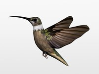 humming bird 3d c4d