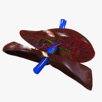 3d human liver model