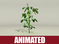 Soybean Plant (Animated)