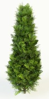 thuja occidentalis max