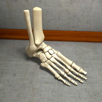 Ultimate Human Foot Bones