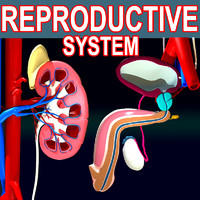 3ds max male reproductive