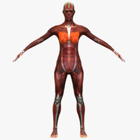 female muscular anatomy 3ds