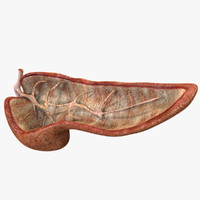 Pancreas Anatomy