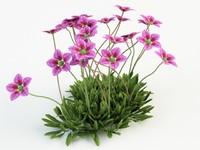 3d plant saxifraga