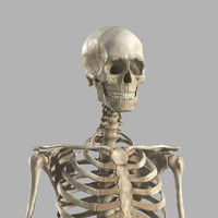 3d model male skeleton