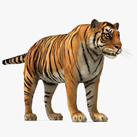 3d tiger sumatran sumatra model