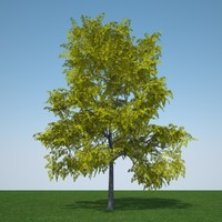 gleditsia triacanthos sunburst 3d model