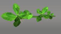 3d model phyla nodiflora