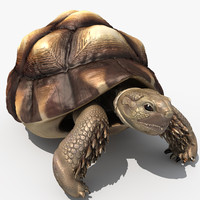 African Spurred Tortoise