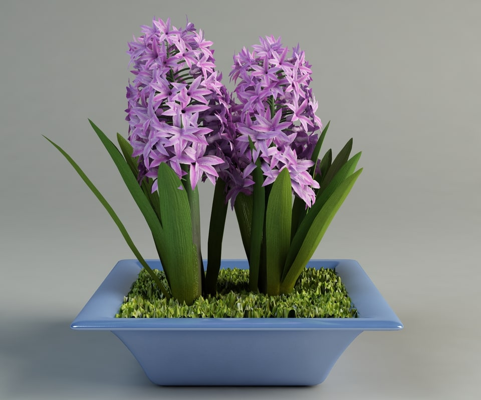 hyacinthus_in_pot_1.jpg