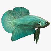 3d model siamese betta