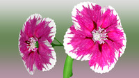 dianthus flowering 3d model