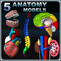 3d model anatomy human