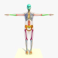 3d model colour skeleton anatomy man human