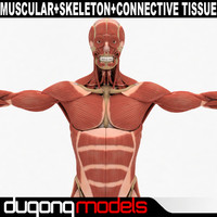 Human Muscular & Skeleton System & Connetive Tissue
