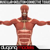 dugm01 human muscular skeleton 3d model