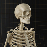 model skeleton anatomy