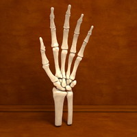 Ultimate Human Hand Bones Anatomy
