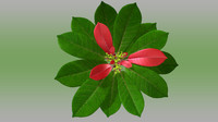 poinsettia plant red 3d obj